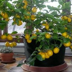 Seeds from the citrus fruits you eat, including orange, kumquat, lemon, lime, tangerine and grapefruit, can turn into some of the most beautiful houseplants around. The citrus family consists of plants with glossy green, fragrant leaves that under good conditions will produce strongly fragrant...