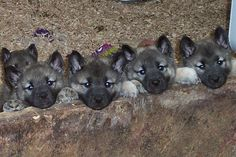 Elkhound Puppies