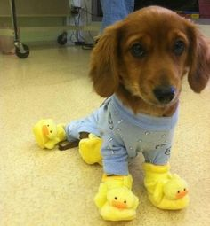Top 30 Funny Animal Quotes and Pics dachshund illustration, red dachshund, baby dachshund puppies Friday Funny Pictures, Funny Animal Pictures, Cute Pictures, Funny Friday, Friday Memes, Tgif Funny, Quotes Friday, Dog Pictures, Humorous Pictures