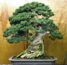 Beautiful Japanese Juniper Bonsai Tree SEEDS - Juniperus chinensis in Garden & Patio, Plants, Seeds & Bulbs, Plants & Seedlings | eBay