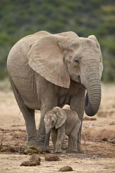 Photographic Print: African Elephant (Loxodonta Africana) Mother and Baby by James Hager : 24x16in