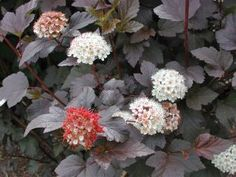 Sester Farms Diabolo® Ninebark Latin Name: Physocarpus opulifolius 'Monlo' Wholesale Tree Nursery