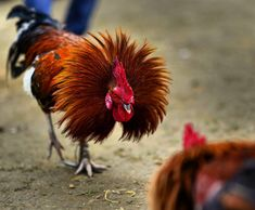 A rooster in the age old traditional cock fight at the annual Joon-beel festival large bets are placed by spectators who watch Photo: Ritu Raj Konwar… Rooster Images, Rooster Art, Thunder Chicken, Rooster Tattoo, Rooster Breeds, Game Fowl, Aztec Culture, Watch Photo, Movie Prints