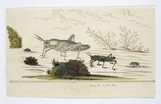 anoniem   Vier Kaapse insecten: kevers, torren en sprinkhanen, attributed to Robert Jacob Gordon, 1777 - 1786  