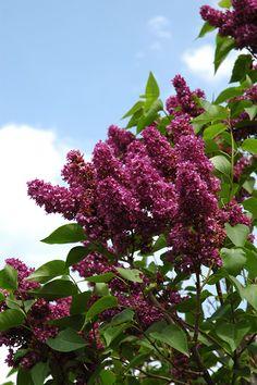 Flowers lilacs syringa on pinterest syringa vulgaris for Purple flower shrub california