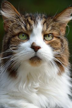 My favorite photo of my Maine Coon cat, Earl.