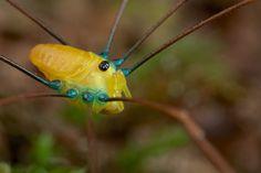 Yellow harvestman | Flickr - Photo Sharing!