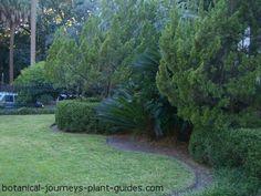 Hollywood Juniper: Juniperus chinensis 'Kaizuka' has Star Quality!