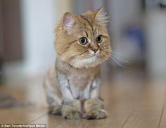 Un gato león