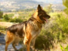 Read about the noble and diligent german shepherd dog breed and find out why it is such a popular breed. Description from dogbreedspicture.net. I searched for this on bing.com/images