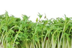 Many Trendy Microgreens Are More Nutritious Than Their Mature Counterparts— The first scientific analysis of nutrient levels in edible microgreens has found that many of those trendy seedlings of green vegetables and herbs have more vitamins and healthful nutrients than their fully grown counterparts.