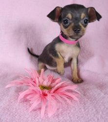 chihuahua/terrier mix.. look at that head.. so cute