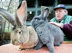 the world famous german giant bunny herman and his friend Giant Rabbit, Giant Bunny, Rabbit Hole, Steve Irwin, Animals And Pets, Funny Animals, Cute Animals, Rabbit Pictures, Cool Pictures