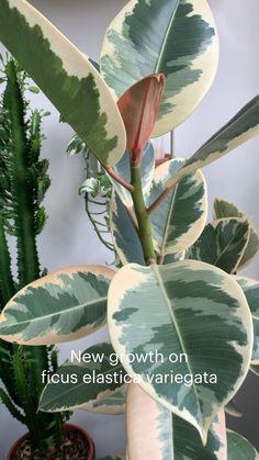 Succulents Garden, Planting Flowers, House Plants Decor, Big House Plants, Popular House Plants, Australian Native Garden, Household Plants, Inside Plants, House Plant Care