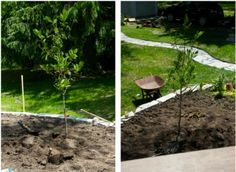 No patience for watering - or just can't remember to do it? Add moss soaked in diluted fertilizer into the soil filling your tree's hole. Volcano Types, Root Structure, Trees To Plant, Tree Planting, Growing Tree, Small Trees, Native Plants, Garden Bridge, Landscape Design