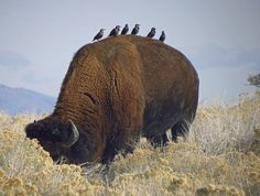 Birds resting on the back of a buffalo bull on Antelope Island. Photo by Frank Barking