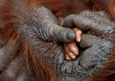 Visions of Earth 2011 - Photo Gallery - National Geographic Magazine Indonesia—A tender moment transpires between mother and infant orangutans in Borneo's Tanjung Puting National Park. The arboreal species has one of the longest intervals between births among mammals, typically around eight years. Beautiful Creatures, Animals Beautiful, Baby Animals, Cute Animals, Funny Animals, Wild Animals, Le Zoo, Borneo, Mom And Baby