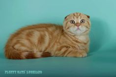 male SFS Fluffy cats` Luchiano  d 22 3 months