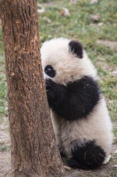 Baby panda - playing hide and seek? Panda Love, Cute Panda, Cute Baby Animals, Animals And Pets, Baby Panda Bears, Baby Pandas, Giant Pandas, Panda Wallpapers, Spirit Animal