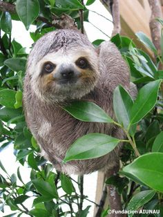 sloth Pictures Of Sloths, Cute Sloth Pictures, Animal Pictures, Cute Baby Sloths, Cute Baby Animals, Sid The Sloth, Baby Puppies, My Spirit Animal, Nature Animals