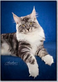 141 Best Maine Coons images in 2019 | Maine coon, Maine coon
