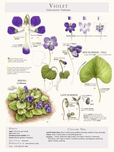 Selected pages from the book Foraging and Feasting: A Field Guide and Wild Food Cookbook by Dina Falconi and Illustrated by Wendy Hollender. These Plant Identification Pages are useful when identifying Wild Edible Plants in the field. Leaf Flowers, Edible Flowers, Botanical Flowers, Healing Herbs, Medicinal Plants, Violet Plant, Illustration Botanique, Plant Illustration, Edible Wild Plants