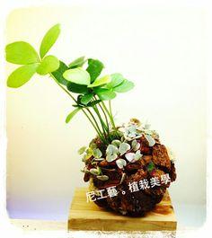 樹皮球 因為愛的連結所噴出的幸運力道 愛之蔓錦。美葉蘇鐵(幸運木)