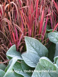 Stachys byzantina 'Big Ears' with Imperata cylindrica 'Rubra'; Ondra at Hayefield Plant Design, Garden Design, Landscape Design, Imperata Red Baron, Lambs Ear Plant, Leafy Plants, Garden Plants, Potted Plants, Deer Resistant Plants
