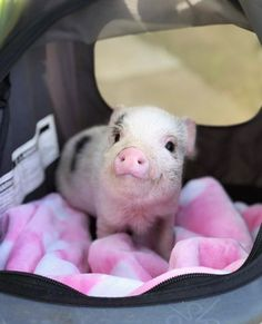 1 Micro Extreme available! As you all already may know these are our smallest sized pigs. They are very very special. Bubba is available for $6500 and this will be the last time our micros will be priced under $10K We are very selective when it comes to our babies. Not just anyone can own our pigs!