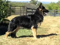 In the Tina Barber of the United States started breeding German Shepherds specifically to avoid hip problems & nervousness. The Shiloh Shepherd is. Long Haired German Shepherd, German Shepherd Puppies, German Shepherds, Big Dogs, I Love Dogs, Dogs And Puppies, Doggies, Shiloh Shepherd, All Types Of Dogs
