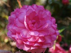 My Diane a Camellia saluenensis/japonica hybrid