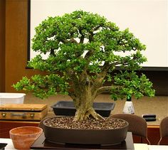 An ingenious way using a boxwood to imitate an oak tree. Nice workmanship, artistry and knowledge of how nature works  http://ibonsaiclub.forumotion.com/t13158-live-oak-style-bonsai-trees