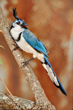 White-throated magpie jay, Calocitta formosa, Santa Rosa National Park, Costa Rica
