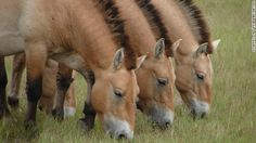 Herds of rare Przewalski's horses are among species left to roam free on the grasslands of Hungary's Hortobagy National Park