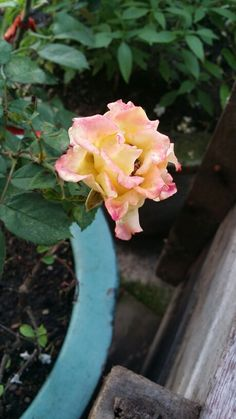 Rose.. yellow-pink.. beauty