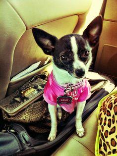 Chihuahua representing Dallas Cowboys
