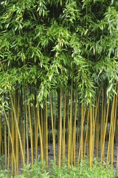 How to Grow Black Bamboo Plants Phyllostachys nigra Gardens and