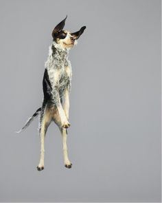 Funny Jumping Dogs Series-12