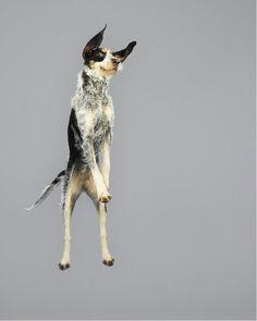 Des-chiens-photographiés-en-plein-saut-à-la-manière-d-un-shooting-de-mode-