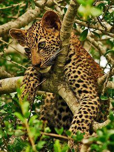 Leopard Cub in a Tree