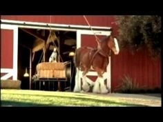 Aaaawwbudweiser commercial clydesdales donkey i love budweiser rocky youtube aloadofball Choice Image