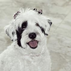 Sometimes you just have to throw on some fancy bows and remind them who they're dealing with. 🎀🎀 #bowdown #slay #withthegoodhair Ginormous thanks to @igwoofs and @my_loving_pet for featuring my photos! It made me feel so special! Follow and tag for your chance to be featured. . Use code LunaThePortie to save 10% @snapindogbows ------------------------------@waggingtailportraits #12monthstillsantapaws2016
