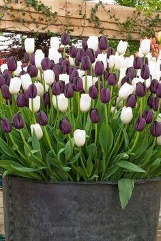 Queen of the Night Tulip, beautiful flower