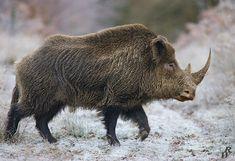 Rhino boar by Dwarf4r