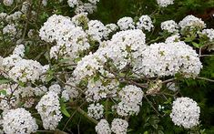 viburnum-burkwoodii-park-farm-hybrid - Hardy woody shrub that produces dense balls of tiny white flowers. Good for height and structure Tiny White Flowers, Elegant Flowers, Garden Shrubs, Garden Beds, Garden Landscaping, Moon Garden, Dream Garden, White Flowering Shrubs, Planting Plan