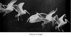 1880 lerde Fransız bilimadamı I Étienne-Jules Marey kuşların nasıl uçtuğunu öğrenmek istedi.Bir saniyede 12 fotoğraf çekecek bir fotoğraf tabancasıyla aşağıdaki fotoğrafı çekti.