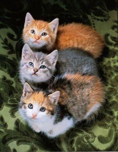 I love this picture of these three beautiful kittens looking upwards. It's so symmetrical, and I bet it to the photographer a long time to capture this purrfect shot! So cute isn't it?