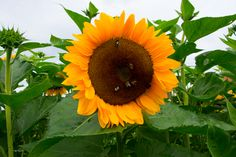 Sonnenblume #fotomotiv #fotografie #images #imágenes #foto #photo #photography #photographie #fotografía #sunflower #natur #blumen #Sonnenblume