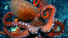 littlepawz:Giant Pacific octopus