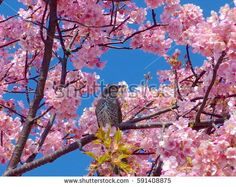 A bird with pink cherry blossoms and blue sky on Japan